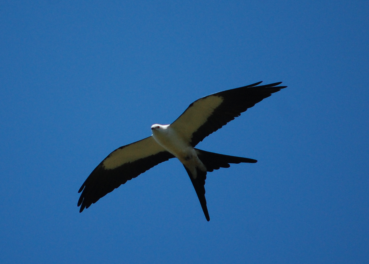 Male Swallow-Tailed Kite